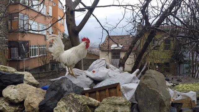 chicken-istanbul